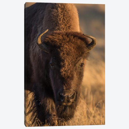 Wyoming. Yellowstone NP, cow bison poses for a in the autumn grasses along the Firehole River. 3-Piece Canvas #EBO38} by Elizabeth Boehm Canvas Art