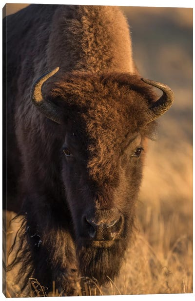 Wyoming. Yellowstone NP, cow bison poses for a in the autumn grasses along the Firehole River. Canvas Art Print