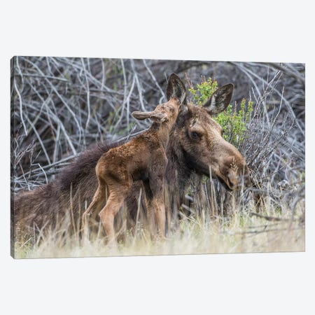 USA, Wyoming, newborn moose calf nuzzles it's mother in a willow patch. Canvas Print #EBO6} by Elizabeth Boehm Canvas Art Print