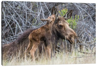 USA, Wyoming, newborn moose calf nuzzles it's mother in a willow patch. Canvas Art Print