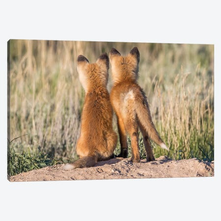 Two Young Fox Kits Watch From Their Den For A Parent To Return With Dinner, USA, Wyoming, Sublette County. Canvas Print #EBO7} by Elizabeth Boehm Art Print