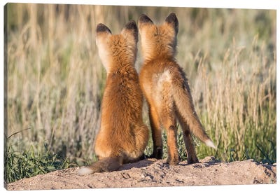 Two Young Fox Kits Watch From Their Den For A Parent To Return With Dinner, USA, Wyoming, Sublette County. Canvas Art Print