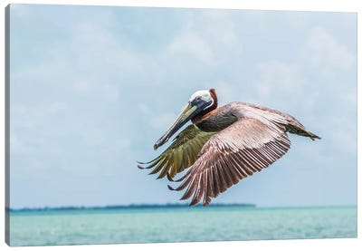 Belize, Ambergris Caye. Adult Brown Pelican flies over the Caribbean Sea Canvas Art Print