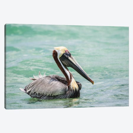 Belize, Ambergris Caye. Adult Brown Pelican floats on the Caribbean Sea. 3-Piece Canvas #EBO9} by Elizabeth Boehm Canvas Wall Art