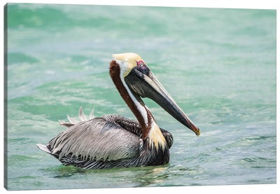 Belize, Ambergris Caye. Adult Brown Pelican floats on the Caribbean Sea. Canvas Art Print