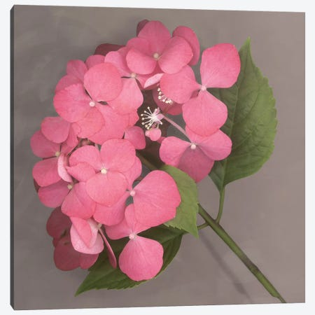 Pink Hydrangea Canvas Print #ECK362} by Erin Clark Canvas Wall Art