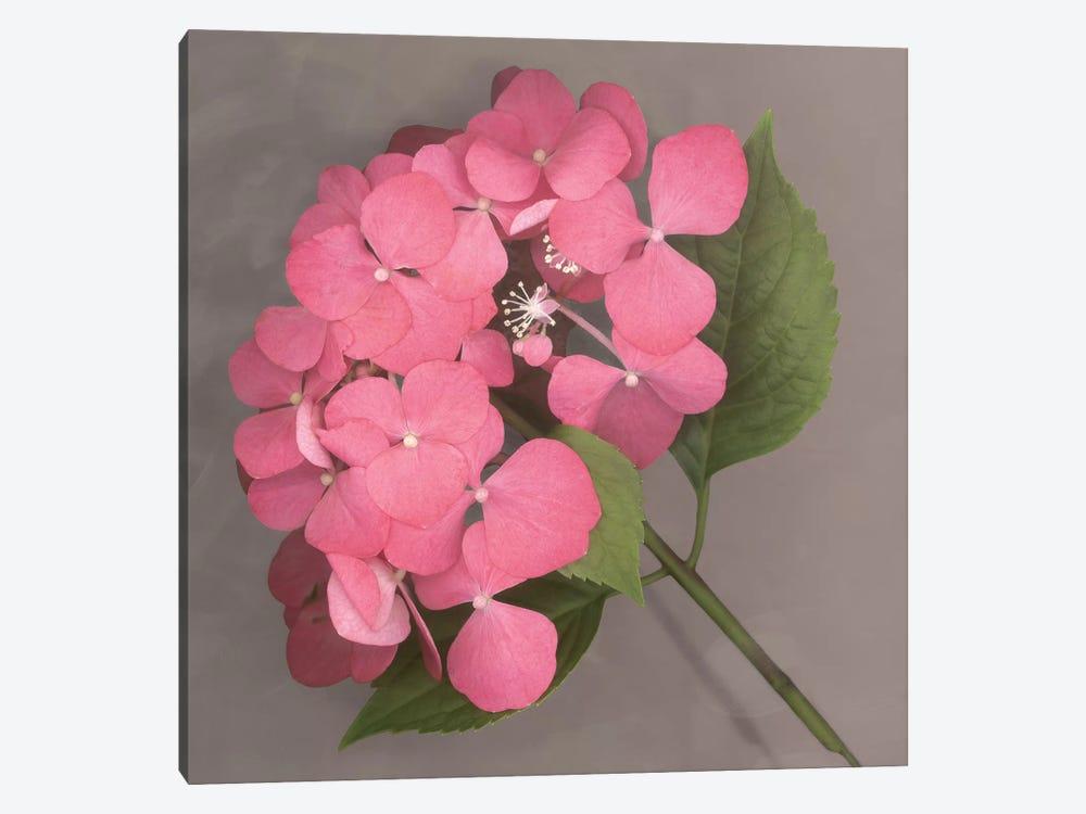 Pink Hydrangea by Erin Clark 1-piece Canvas Art Print