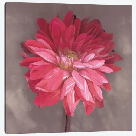 Pink Zinnia Canvas Print #ECK78} by Erin Clark Canvas Print