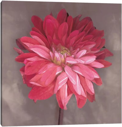 Pink Zinnia Canvas Art Print