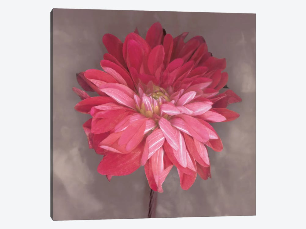 Pink Zinnia by Erin Clark 1-piece Canvas Wall Art