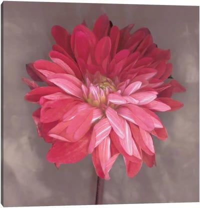 Pink Zinnia Canvas Art Print