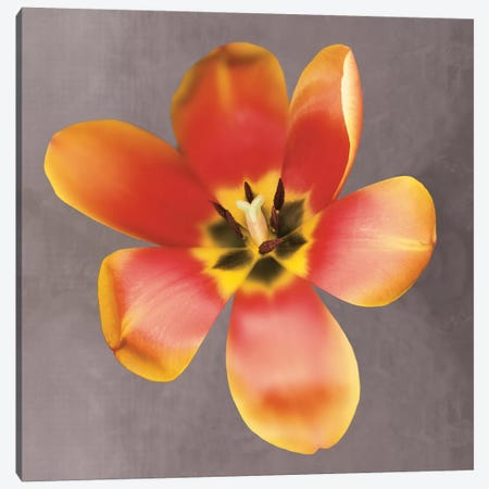 Sunshine Tulip Canvas Print #ECK85} by Erin Clark Canvas Art Print