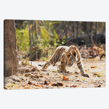 India, Madhya Pradesh, Bandhavgarh National Park. A Bengal Tiger Cub Looking Intently For Something To Stalk. Canvas Print #EGO103} by Ellen Goff Canvas Art Print