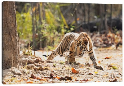 India, Madhya Pradesh, Bandhavgarh National Park. A Bengal Tiger Cub Looking Intently For Something To Stalk. Canvas Art Print