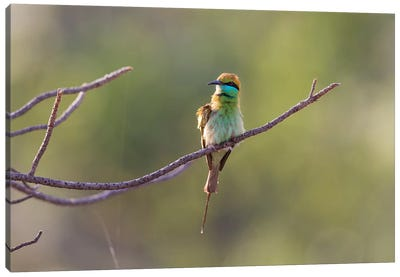 India, Madhya Pradesh, Bandhavgarh National Park. A Green Bee-Eater Fluffs Itself On A Small Branch. Canvas Art Print