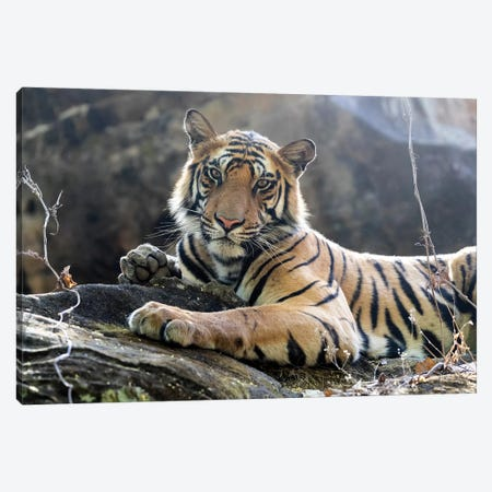 India, Madhya Pradesh, Bandhavgarh National Park. A Young Bengal Tiger Resting On A Cool Rock. Canvas Print #EGO106} by Ellen Goff Canvas Artwork