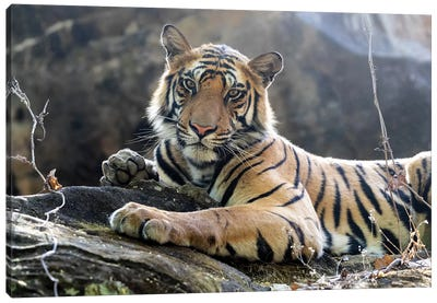India, Madhya Pradesh, Bandhavgarh National Park. A Young Bengal Tiger Resting On A Cool Rock. Canvas Art Print