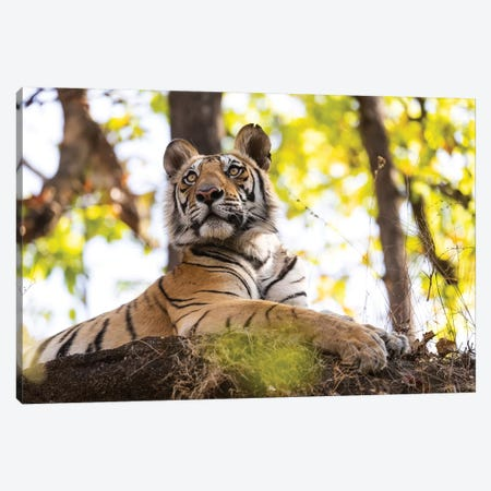 India, Madhya Pradesh, Bandhavgarh National Park. A Young Bengal Tiger Watching From Its Perch High Up On A Rock. Canvas Print #EGO107} by Ellen Goff Canvas Wall Art