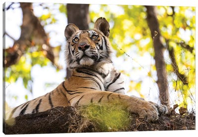 India, Madhya Pradesh, Bandhavgarh National Park. A Young Bengal Tiger Watching From Its Perch High Up On A Rock. Canvas Art Print