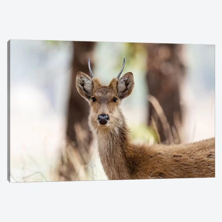 India, Madhya Pradesh, Kanha National Park. Headshot Of A Young Male Barasingha. Canvas Print #EGO112} by Ellen Goff Canvas Art