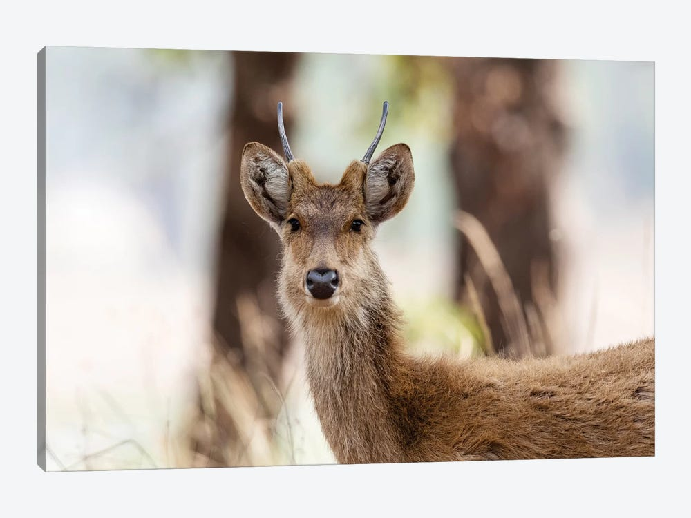 India, Madhya Pradesh, Kanha National Park. Headshot Of A Young Male Barasingha. by Ellen Goff 1-piece Canvas Art Print