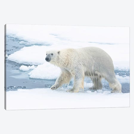 North Of Svalbard, Pack Ice. A Polar Bear Emerges From The Water. Canvas Print #EGO115} by Ellen Goff Canvas Print