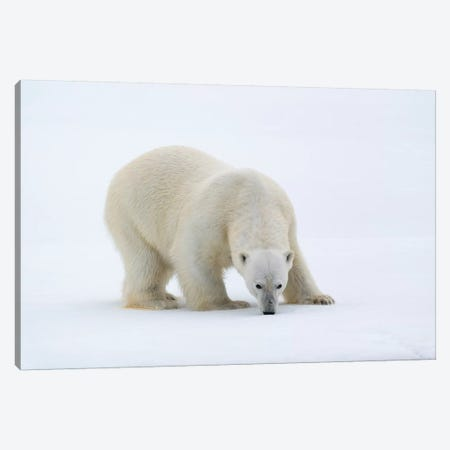 North Of Svalbard, Pack Ice. A Portrait Of A Polar Bear On A Large Slab Of Ice. Canvas Print #EGO116} by Ellen Goff Art Print