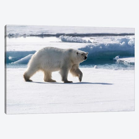 North Of Svalbard, Pack Ice. A Portrait Of An Walking Polar Bear On The Pack Ice. Canvas Print #EGO117} by Ellen Goff Canvas Print