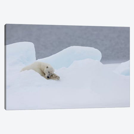 North Of Svalbard, Pack Ice. A Very Old Male Polar Bear Resting On The Pack Ice. Canvas Print #EGO118} by Ellen Goff Canvas Artwork