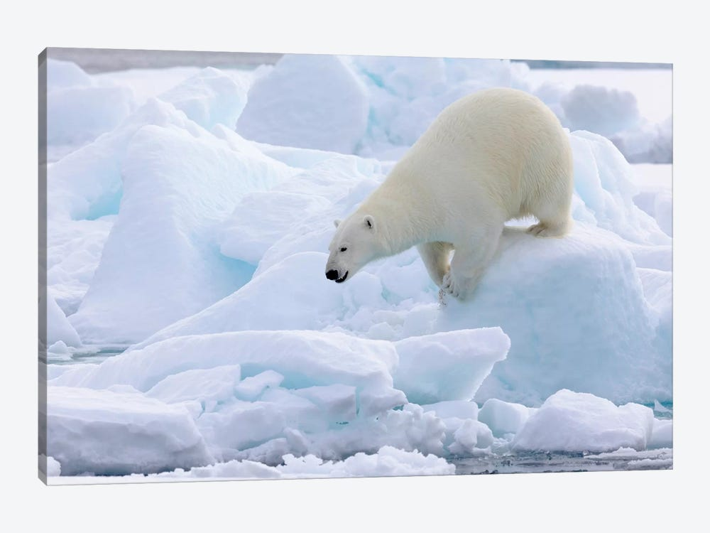North Of Svalbard, Pack Ice. Portrait Of A Polar Bear Walking On The Pack Ice. by Ellen Goff 1-piece Canvas Artwork