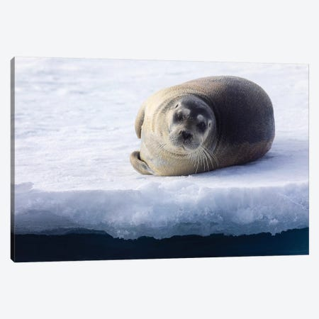 North Of Svalbard, The Pack Ice. A Portrait Of A Young Bearded Seal Hauled Out On The Pack Ice. Canvas Print #EGO120} by Ellen Goff Canvas Art Print