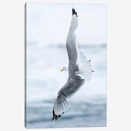 Pack Ice, North Of Svalbard. A Black-Legged Kittiwake Showing Its Flying Capabilities. Canvas Print #EGO121} by Ellen Goff Canvas Art Print