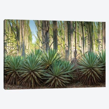 Africa, Madagascar, Anosy Region, Berenty Reserve, spiny forest. Sisal plants are along the edge of the deciduous plants Canvas Print #EGO126} by Ellen Goff Canvas Art