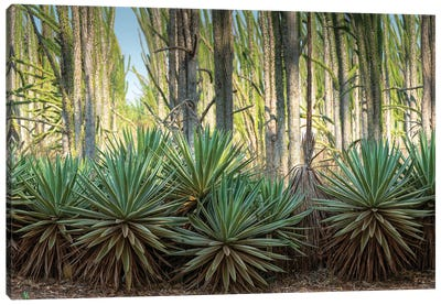 Africa, Madagascar, Anosy Region, Berenty Reserve, spiny forest. Sisal plants are along the edge of the deciduous plants Canvas Art Print