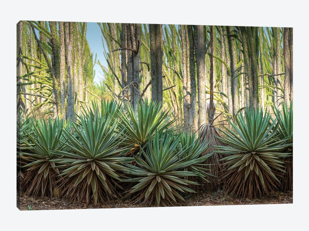 Africa, Madagascar, Anosy Region, Berenty Reserve, spiny forest. Sisal plants are along the edge of the deciduous plants by Ellen Goff 1-piece Canvas Art
