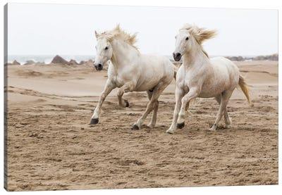 France, The Camargue, Saintes-Maries-de-la-Mer. Camargue horses running along the beach. Canvas Art Print