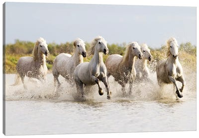 France, The Camargue, Saintes-Maries-de-la-Mer. Camargue horses running through water II Canvas Art Print
