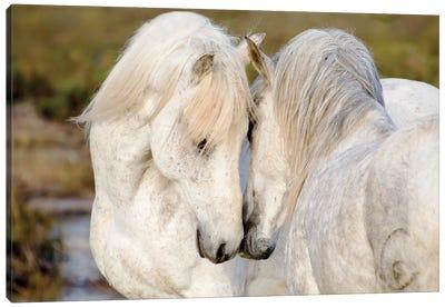 France, The Camargue, Saintes-Maries-de-la-Mer. Two Camargue stallions interacting. Canvas Art Print