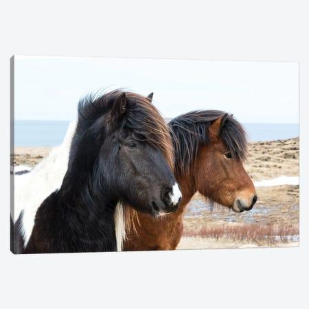 Iceland, Akureyri. Icelandic horses. Canvas Print #EGO16} by Ellen Goff Canvas Print