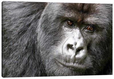 Africa, Rwanda, Volcanoes National Park. Portrait of a silverback mountain gorilla I Canvas Art Print