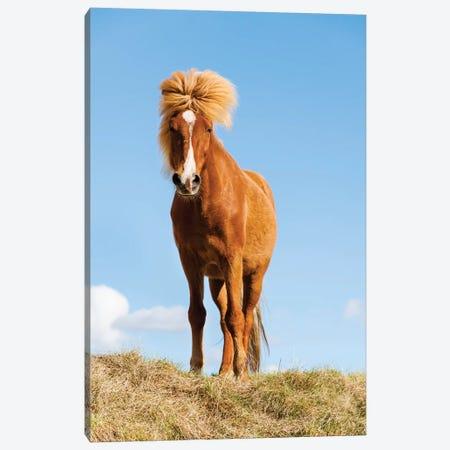 Iceland, Lake Myvatn, Icelandic horse. Portrait of an Icelandic horse II Canvas Print #EGO28} by Ellen Goff Canvas Print