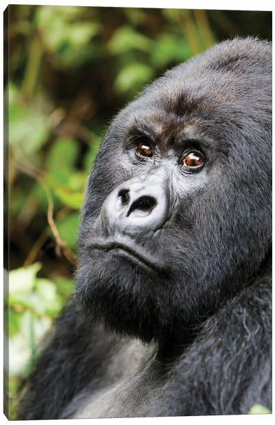 Africa, Rwanda, Volcanoes National Park. Portrait of a silverback mountain gorilla II Canvas Art Print