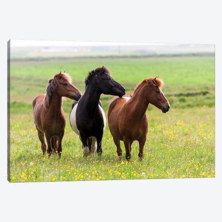 Iceland, Southwest Iceland. Icelandic horses enjoy a wildflower strewn field. Canvas Print #EGO31} by Ellen Goff Canvas Wall Art