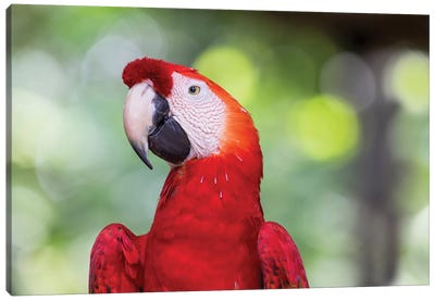 South America, Brazil, Amazon, Manaus, Headshot of a scarlet macaw. Canvas Art Print
