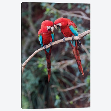 South America, Brazil, Mato Grosso do Sul, Jardim, A pair of red-and-green macaws together. Canvas Print #EGO35} by Ellen Goff Canvas Art Print