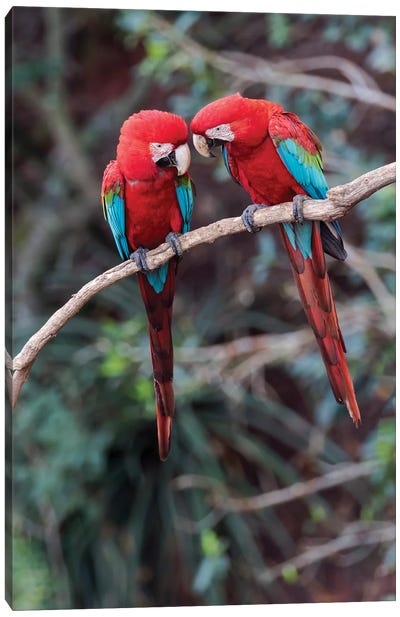 South America, Brazil, Mato Grosso do Sul, Jardim, A pair of red-and-green macaws together. Canvas Art Print
