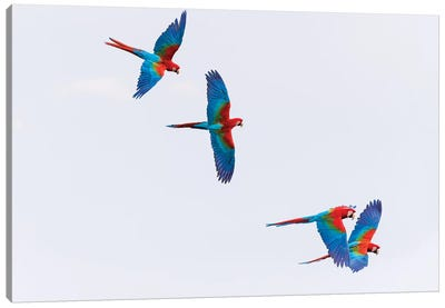 South America, Brazil, Mato Grosso do Sul, Jardim, Red-and-green macaws flying in the sinkhole I Canvas Art Print