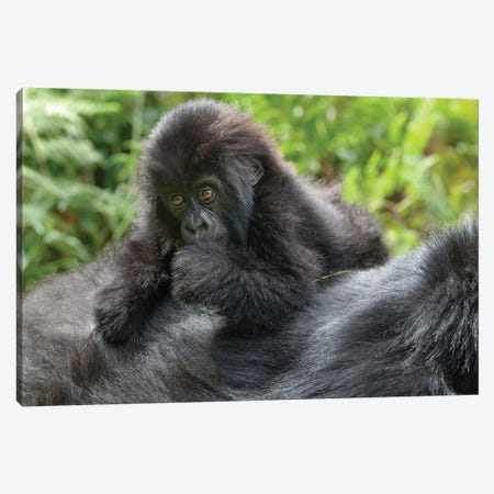 Young Mountain Gorilla Playing On Its Mother's Back, Volcanoes National Park, Rwanda Canvas Print #EGO38} by Ellen Goff Canvas Artwork