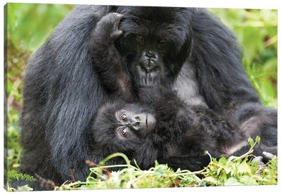 Female Mountain Gorilla With Her Young, Africa, Rwanda, Volcanoes National Park. Canvas Art Print