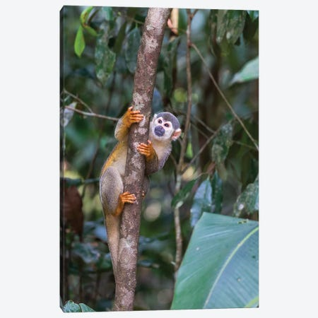 Brazil, Amazon, Manaus, Common Squirrel monkey in the trees. Canvas Print #EGO3} by Ellen Goff Art Print